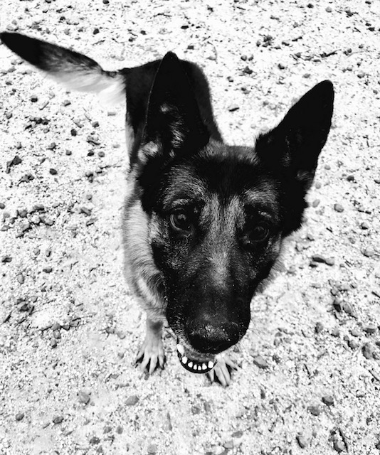 Boston Terrier | dog culture