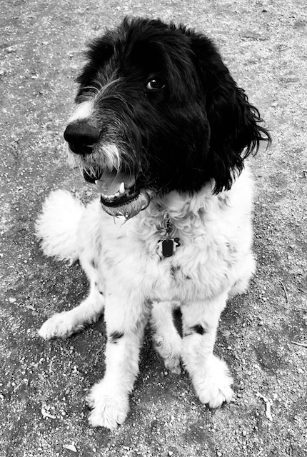 Rosie, the Newfie Doodle Mix (Newfoundland Poodle) She said